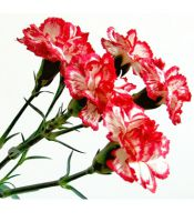 Dianthus spray