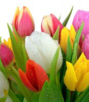 Tulip in assortment