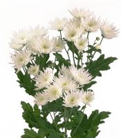 Chrysanthemum Bush